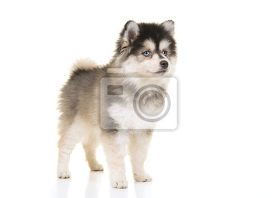 Mignon pomsky mini husky chiot debout regardant loin isolé sur fond blanc