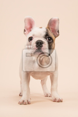 Mignon presque blanc bouledogue français chiot debout regardant la caméra vue de face sur un fond de couleur crème
