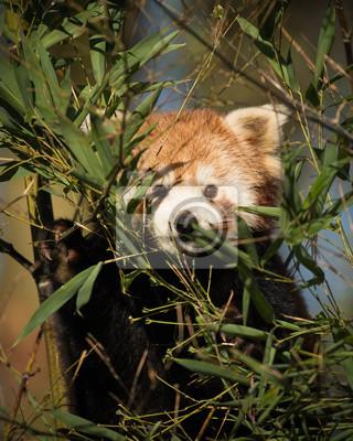 Mignon, rouge, panda, derrière, bambou, buissons, manger, faire face, appareil photo