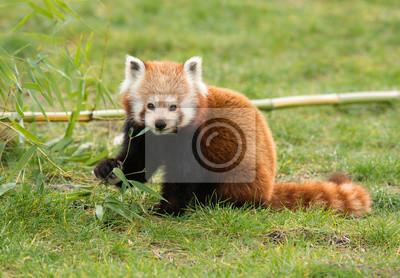 Mignon, rouge, panda, manger, bambou, séance, herbe