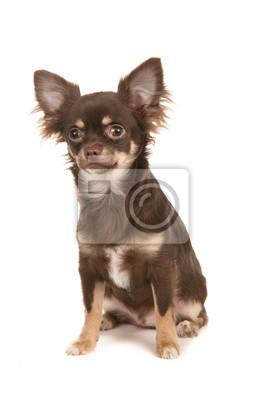 Mignon, séance, brun, chihuahua, chien, isolé, blanc, fond