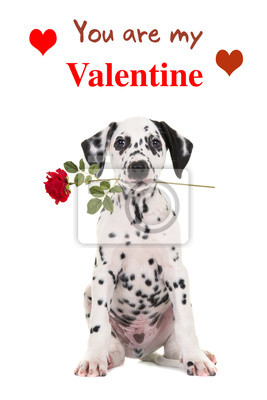 Mignon, séance, dalmatien, chiot, chien, tenue, rouges, rose, sien, bouche, faire face, appareil-photo, blanc, fond ...