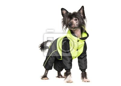 Mignon, sombre, chinois, crête, chien, Porter, hiver, manteau, isolé, blanc, fond