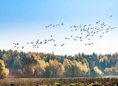 Papiers peints Migration des oies canadiennes