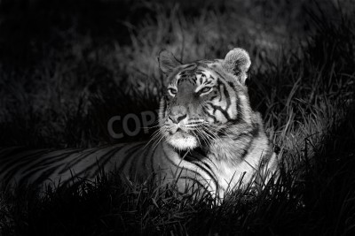 Papiers peints Monochrome image of a bengal tiger (Panthera tigris bengalensis) laying in grass