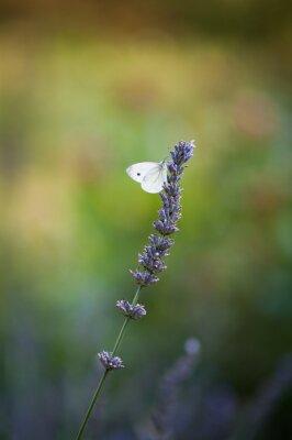 Papiers peints Motyl na lawendzie