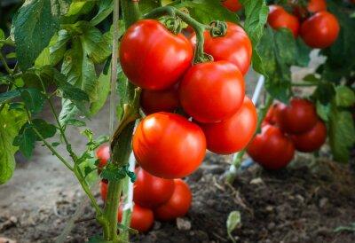 Papiers peints Mûre, tomates, jardin, Prêt, récolte