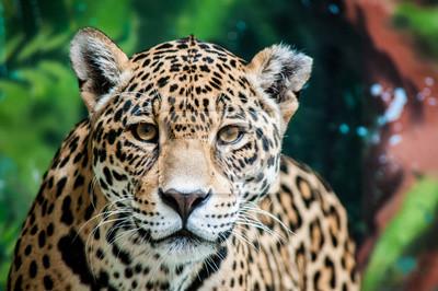 Papiers peints Narguant la Jaguar