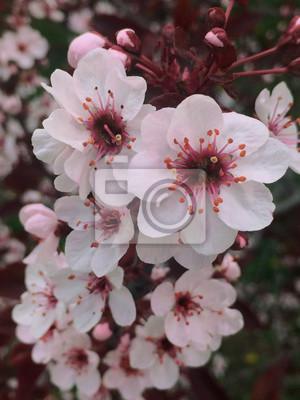 Nature Macro Japonais Printemps Blanc Fleur Cerisier Prune
