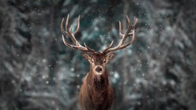Papiers peints Noble cerf mâle dans la forêt de neige d'hiver. Paysage de Noël artistique artistique.