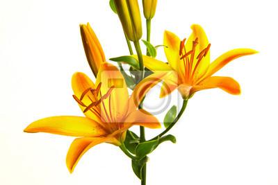 Orange, lis, fleurir, isolé, blanc, fond