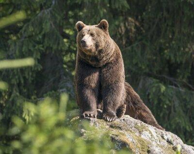 Papiers peints ours brun mâle