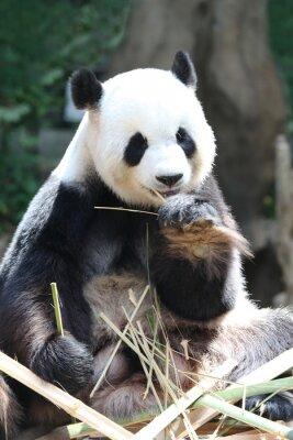 Papiers peints Ours, manger, bambou