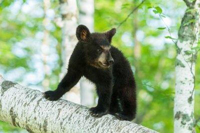 Papiers peints Ours noir, ours, (Ursus, americanus), tourne, branche