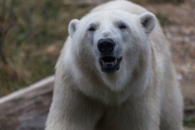 Papiers peints Ours polaire