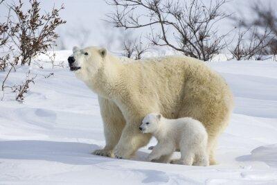 Papiers peints Ours polaire avec oursons