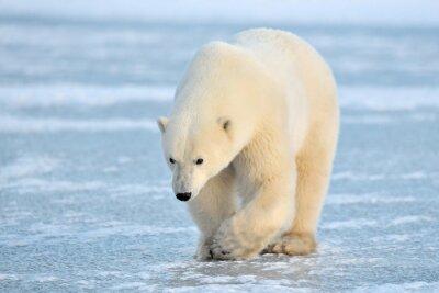 Papiers peints Ours polaire marchant sur la glace bleue.