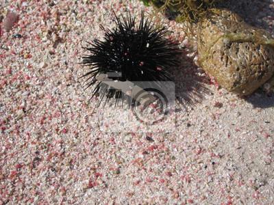 Oursin, sur, les, sable, rivage, de, rouges, corail