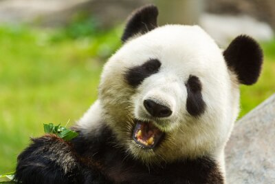 Papiers peints Panda bear eating bamboo