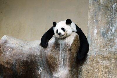 Papiers peints Panda Bear repos