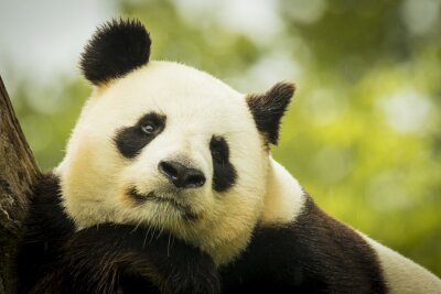 Papiers peints Panda éveillé