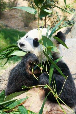 Papiers peints Panda manger du bambou