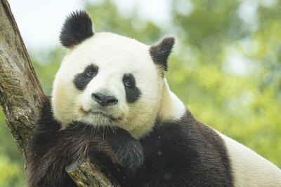 Papiers peints Panda Portrait