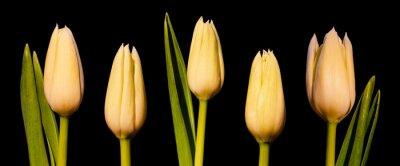 Papiers peints Panorama des tulipes blanches