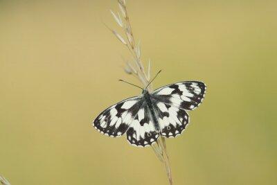 Papillon blanc marbré aux ailes déployées sur un heaume