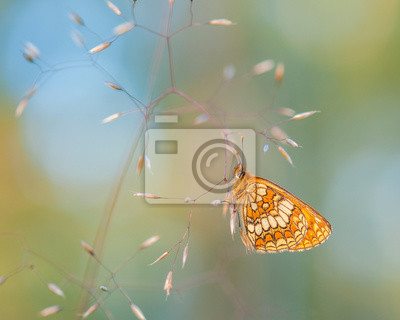 Papillon fritillaire Heath suspendu dans l'herbe sur fond de joli bokeh