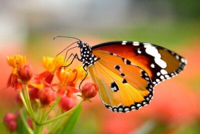 Papiers peints Papillon sur fleur d'oranger dans le jardin