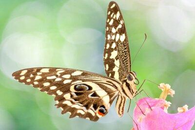 Papiers peints Papillon sur fleur de bougainvillée