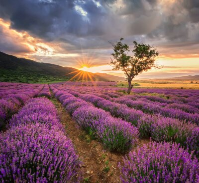 Papiers peints Paysage grandiose avec champ de lavande au lever du soleil