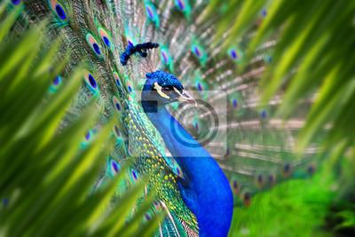 Papiers peints Peacock portrait in jungle