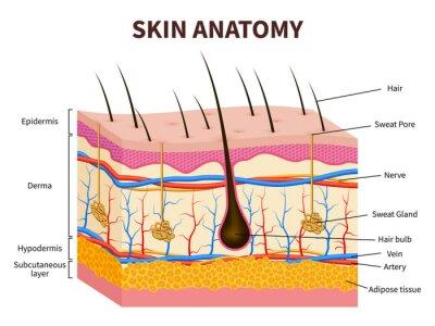 Papiers peints Peau humaine. Épiderme en couches avec follicule pileux, sueur et glandes sébacées. Illustration de vecteur médical anatomie de la peau saine