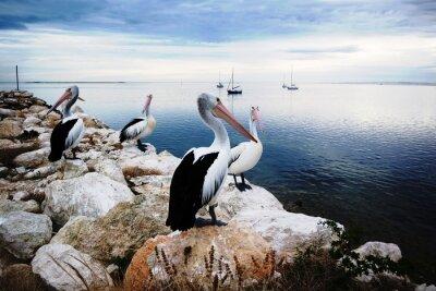 Papiers peints Pelican, kangourou, Île, Australie