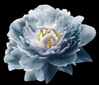 Papiers peints Peony flower blue on the black isolated background with clipping path. Nature. Closeup no shadows. Garden flower.