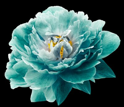 Papiers peints Peony flower turquoise on the black isolated background with clipping path. Nature. Closeup no shadows. Garden flower.