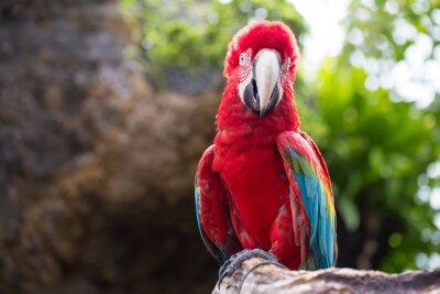 Papiers peints Perroquet coloré, ara aviaire