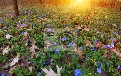 Pervenche Vinca fleurs printanières bleu dans la forêt