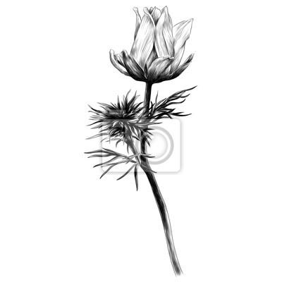 Papiers Peints Pétales De Sprout De La Branche De Fleur Adonis Un Dessin Noir