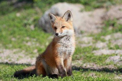 Papiers peints petit renard roux