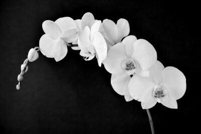 Papiers peints Phalaenopsis aphrodite orchidée, en noir et blanc