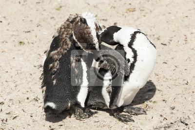 Pingouins A Western Cape Afrique Du Sud Papier Peint Papiers