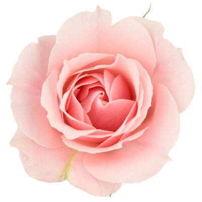 Papiers peints Pink rose close up, isolated on white