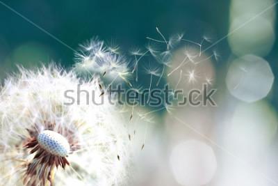 Papiers peints Pissenlit. Gros plan des spores de pissenlit qui s'envolent, graines de pissenlit au soleil qui s'envolent sur un fond vert frais du matin