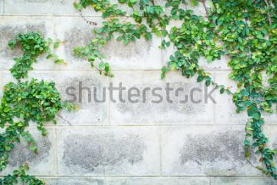 Papiers peints Plante verte de plantes grimpantes sur un mur blanc