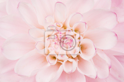 Plein, cadre, fin, haut, rose, fleurir, chrysanthème, fleur