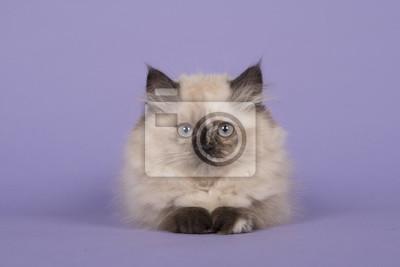 Point de chasse, chaton à poil long, yeux bleus, allongé sur un fond violet, regardant tout droit vers la caméra