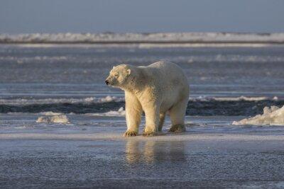 Papiers peints Polar Bear vérifiant les choses